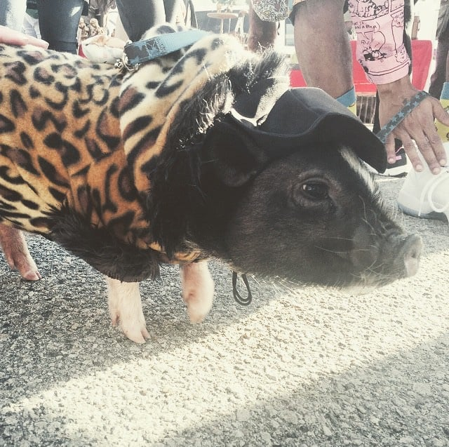 Only In LA: Mr Meat the Leopard Print Wearing Pig