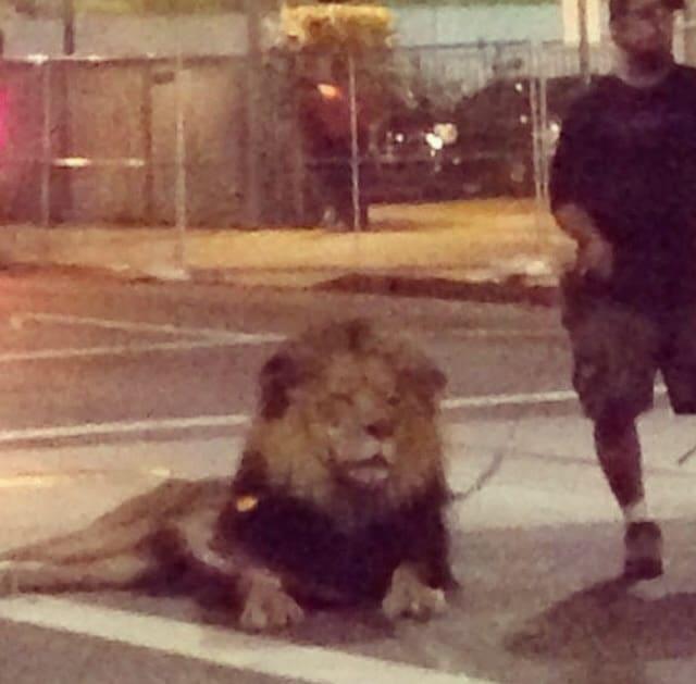 Only In LA: Lion DTLA