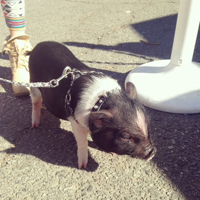 Only In LA: Piggy on a Leash