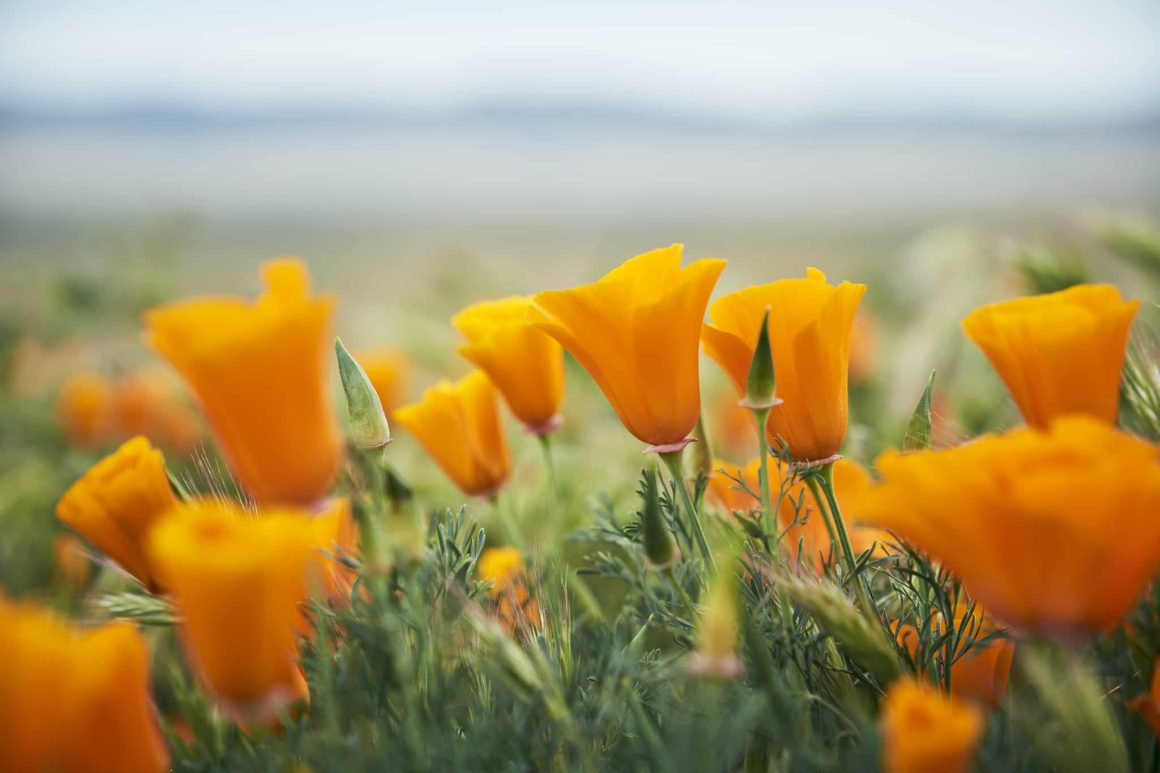 ADVENTURES IN POPPYLAND // THE ANTELOPE VALLEY POPPY RESERVE