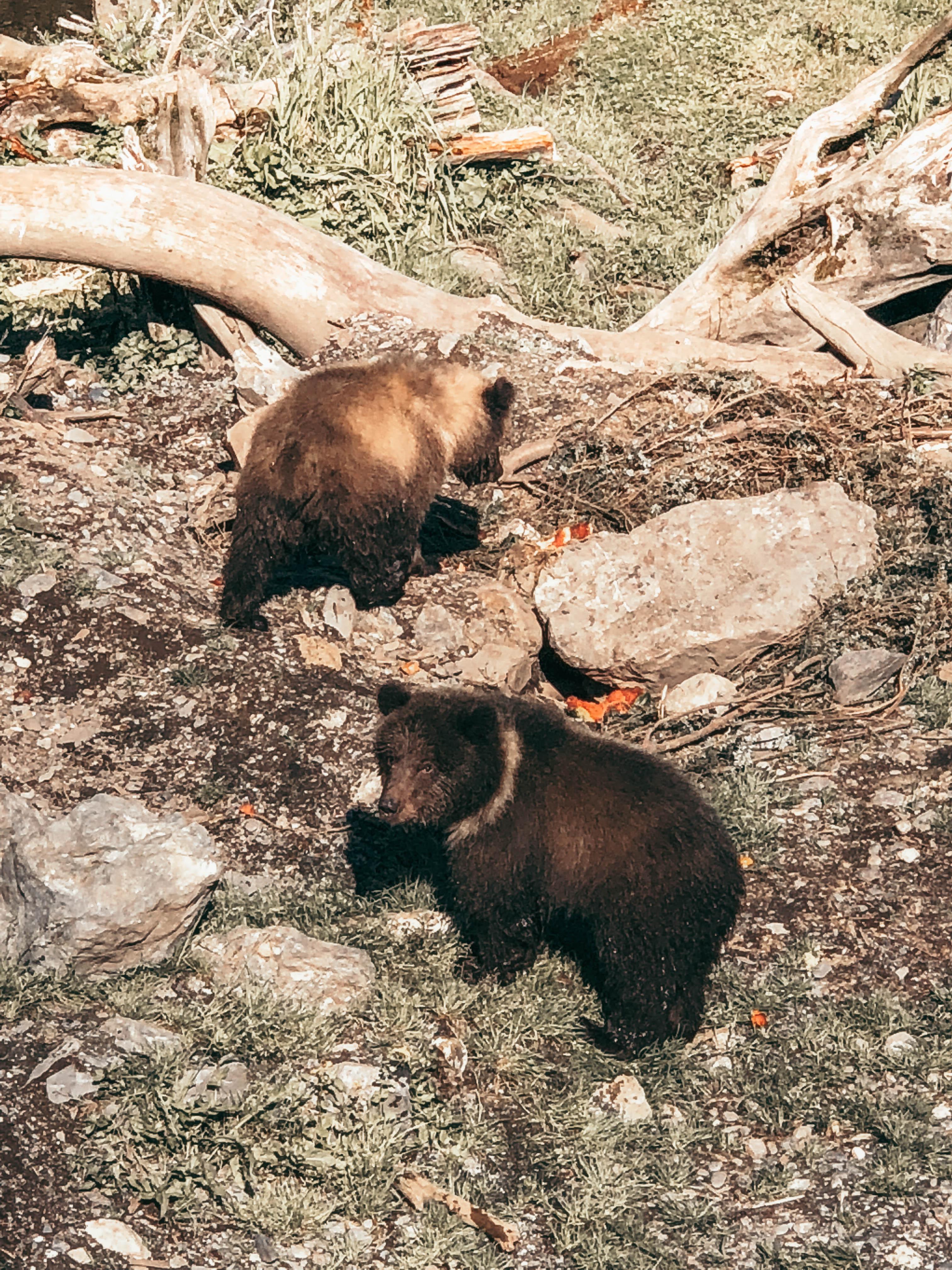 cubs in alaska